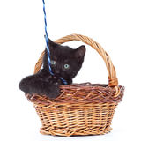 Kitten inside of basket playing with yarn Royalty Free Stock Photo