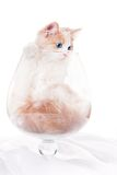 Kitten inside large cognac glass Stock Photos