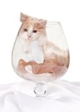 Kitten inside large cognac glass Stock Image