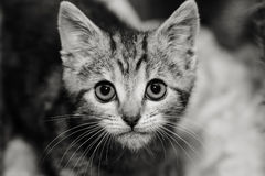 Kitten with an intense stare. Tabby kitten with a very intense look on his face, black and white image stock images