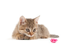 Kitten isoalted on white Royalty Free Stock Images