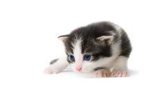 Kitten isolated Royalty Free Stock Photography