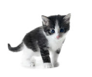 Kitten isolated Royalty Free Stock Image