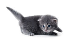Kitten isolated Royalty Free Stock Image