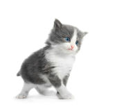 Kitten isolated Stock Image
