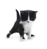 Kitten isolated Royalty Free Stock Photos