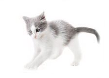Kitten isolated Royalty Free Stock Images