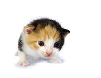 Kitten isolated. Curious kitten isolated on white Royalty Free Stock Photo