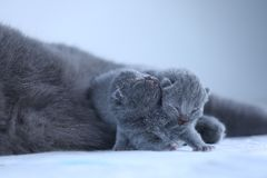 Kitten isolated portrait, one day old, cute face. Newly born British Shorthair kittens portrait, close-up view, lying on the floor. Copy space stock photo