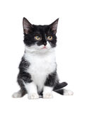 kitten isolated on white background Stock Images