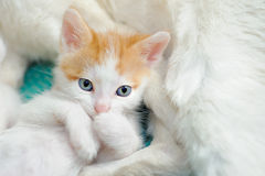 Kitten with its Mom Royalty Free Stock Image