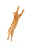 Kitten jumping Stock Photography