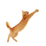 Kitten jumping Stock Image