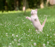 Kitten Jumping And Playing Royalty Free Stock Images