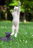 Kitten Jumping And Playing Stock Photos