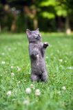 Kitten Jumping And Playing Royalty Free Stock Photography