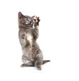 Kitten jumping any playing Royalty Free Stock Photos