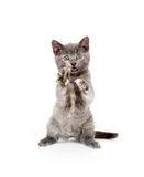 Kitten jumping any playing Royalty Free Stock Photography