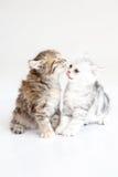 Kitten kissing. Together ,American short hair Stock Image