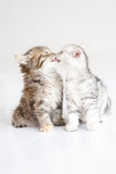 Kitten kissing. Together ,American short hair Royalty Free Stock Images