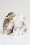 Kitten kissing. Together ,American short hair Royalty Free Stock Photography