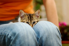 Kitten in a lap Stock Image