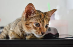 Kitten on lap top Stock Image