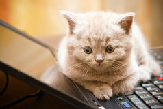 Kitten On A Laptop Stock Photo