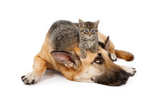 Kitten laying on German Shepherd. A cute small kitten on the head of a large patient German Shepherd Dog that is laying down against a white backdrop and looking Royalty Free Stock Images
