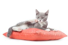 Kitten is laying on pillow. Stock Image