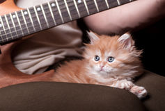 Kitten lays on man's lap. Who playing a guitar royalty free stock image