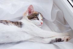 Kitten lays on the window sill and looking out the window.  Royalty Free Stock Photo
