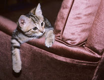 Kitten leaning over Armchair. Young Kitten Leaning Over Arm of Recliner Stock Photo