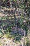 A kitten of a leopard resting in the shade of a tree. Kenya, Africa royalty free stock photo