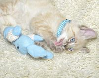 Kitten Licking His Paw. A cute Siamese Balinese mixed breed kitten lying with his toy licking his paw royalty free stock images