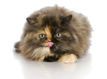 Kitten licking lips Stock Photography