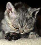 Kitten licking paw Royalty Free Stock Photos