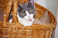 Kitten Licking Paws Stock Foto's