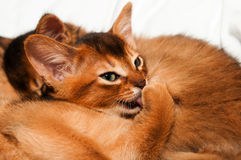 Kitten licks itself. Abyssinian kitten licks itself and lying with other kittens Stock Photography