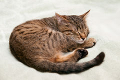 Kitten Lies And Looks Stock Photography