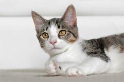 Kitten Lies Down Looking Left royalty-vrije stock foto's