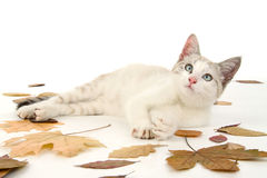 Kitten lies in foliage Royalty Free Stock Photography