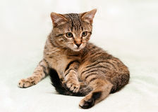 Kitten lies and looks Royalty Free Stock Images