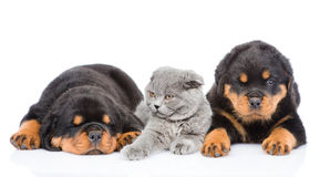 Kitten lies between the two rottweiler puppies. Isolated on white Stock Image
