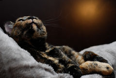 Kitten and light Royalty Free Stock Images