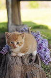 Cute Kitten and lilac flowers Royalty Free Stock Image