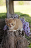 Kitten and lilac flowers Stock Image