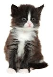 Kitten, little cat isolated on white background Royalty Free Stock Image