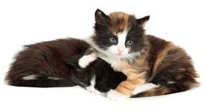 Kitten, little cat isolated on white background Royalty Free Stock Photo