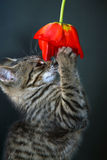 Kitten. Little kitten plays with a red flower stock images